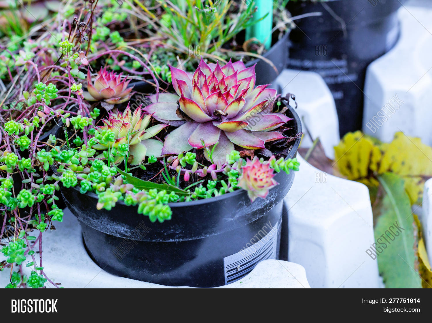 Sempervivum Green Plants In Flower Pots. Common Houseleeks Or Liveforever Flowers Growing In Flowerpots. Potted Succulents Selling In Garden Center & Common Potted Flowers \u0026 9. Impatiens