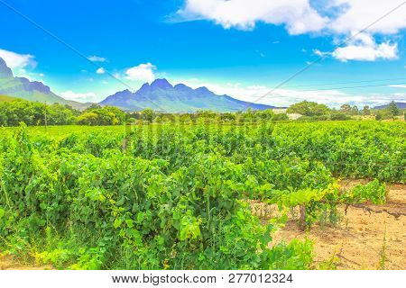 Seasonal Background. Vineyard With Rows Of Grapes In The Scenic Landscape Of Stellenbosch, Near Cape