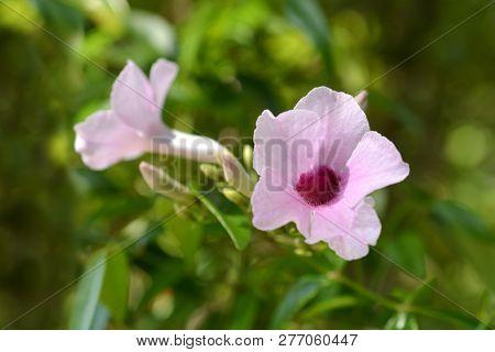Pink Bower Vine Flowers - Latin Name - Pandorea Jasminoides