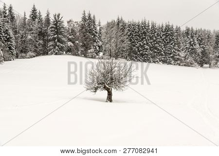 Winter Scenery With Isolated Tree On Snow Covered Meadow With Forest On The Backgroundnear Visalaje