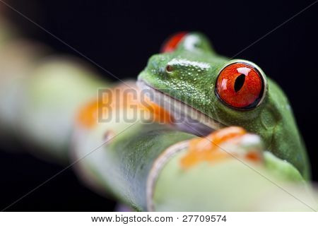 The photo of the red eyed tree frog