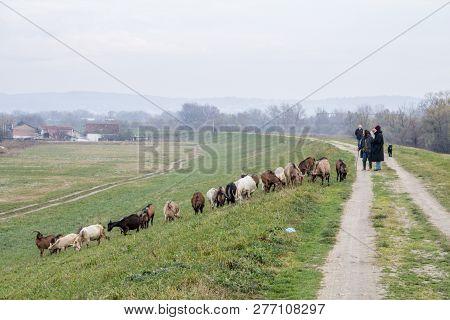 Borca, Serbia - November 29, 2014: Shepherds Standing Near A Herd Of Goats In A Pasture Field Full O