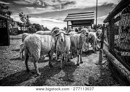 Sheep On A Farm, Detail Of Mammalian Animals, Wool And Milk, Food Production