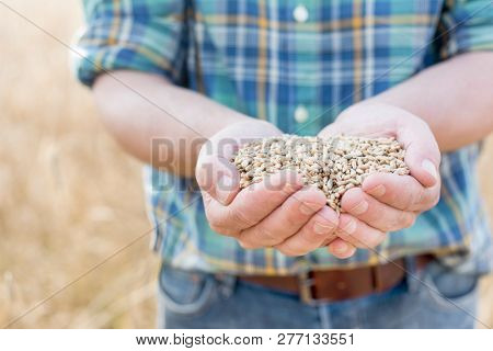 Farmer holding wheat seeds in hands cupped at farm