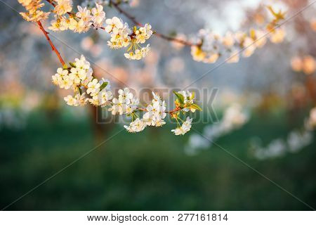 Spectacular ornamental garden with blooming lush trees on a idyllic sunny day. Concept of the ecology. Soft focus image. Flowering orchard in spring time. Awesome natural background. Beauty of earth.