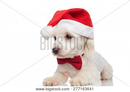 classy santa bichon lies on white background and looks down to side poster