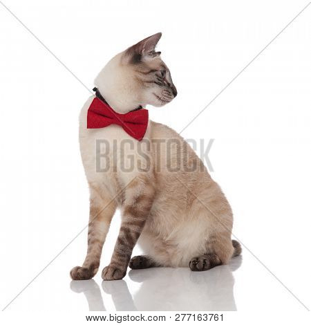 side view of classy grey metis cat looking down to side while sitting on white background