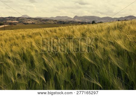 Green Wheat Field On A Windy Day, Natural Background
