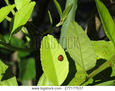 Save Download Preview  Brisbane Australia -january 2019: Lady Bug Sitting On A Leaf On January 01 20