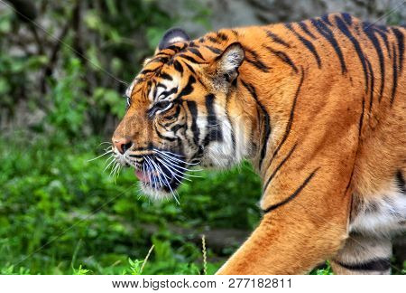 Sumatran Tiger Is The Smallest Of All Living Tigers. Wildlife. Nice Photo Of A Walking Tiger. Close