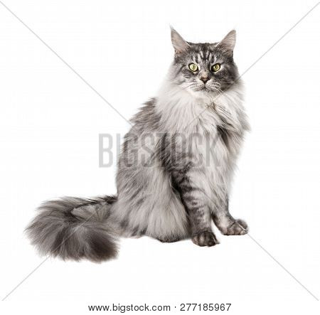 Cute Maine Coon Cat Looks Pensively At Camera Isolated On White Background
