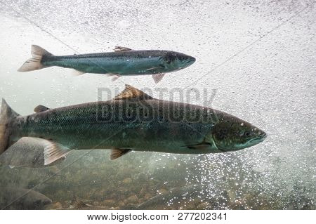 Salmon Swimming Against River Current. Norway, Stavanger Region, Rogaland, Ryfylke Scenic Route. Sal