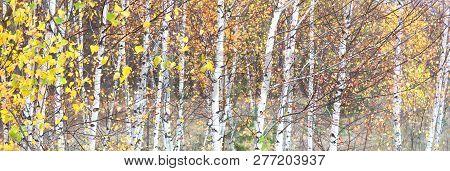 Autumn Forest, Autumn Leaf, Autumn Tree, Autumn Trees, Background, Bark, Beautiful, Birch Forest, Bi