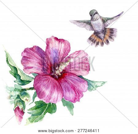 Watercolor Painting.  Hand Drawn Flying Humming Bird And Pink Flower Isolated On White. Small Hummin