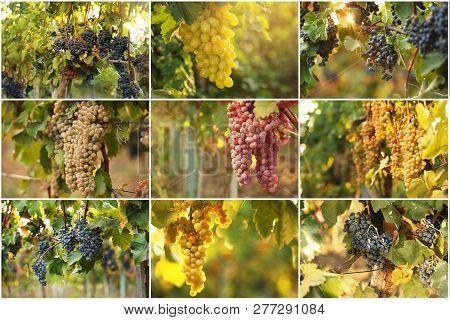 Set With Different Kinds Of Grapes Growing In Vineyard
