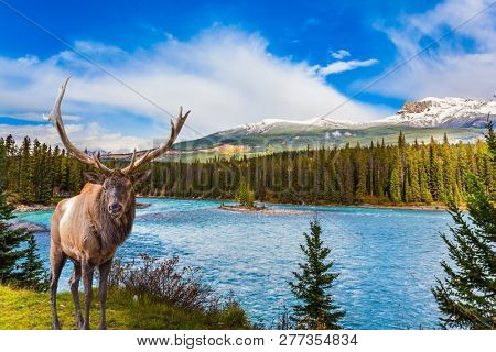 The Rocky Mountains, Canada. Gorgeous deer with horns grazing on the lake. The valley along the Road 91A -  lake surrounded by scenic forests. Concept of ecological, active and photo-tourism