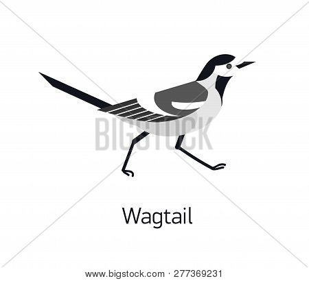 Wagtail Isolated On White Background. Adorable Small Insectivorous Passerine Bird. Wild Avian Specie