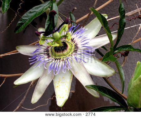 Nice, Grandiose Flower (Passiflora)