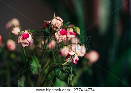 Bouquet of old pink roses with faded leaves on dark background. Withered and dried pink and white petals. Close-up poster