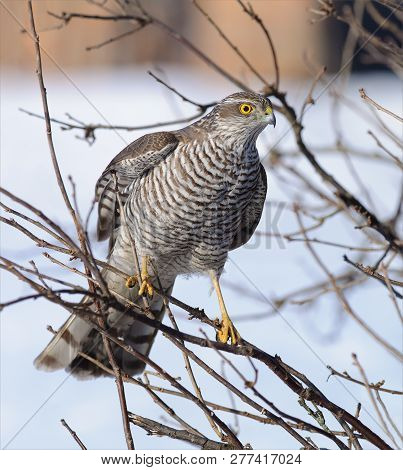 Eurasian Sparrowhawk Female Sits In Bush On Small Branches