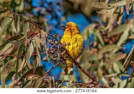 A Male Cape Weaver, Ploceus Capensis, At Matjiesfontein Near Nieuwoudtville In The Northern Cape Pro
