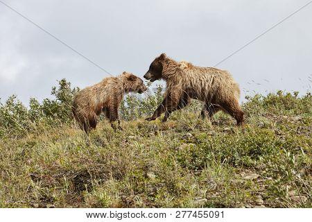 Bear Playing With Cub On Hillside In Alaska