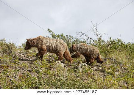 Bear With Cub On Hillside In Alaska