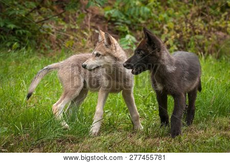 Two Grey Wolf (canis Lupus) Pups Look Left Summer - Captive Animals