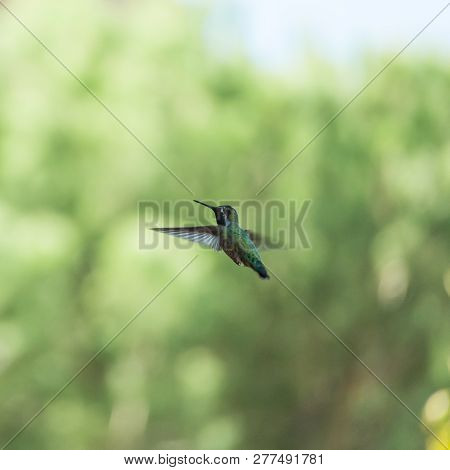 A Hummingbird In Flight Against A Background Of Out-of-focus Trees. Sedona, Az, Usa.