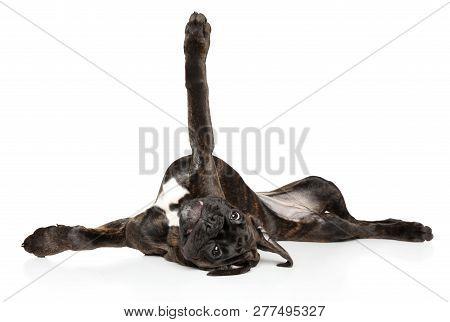 Boxer Dog Graceful Lying Upside Down On His Back On White Background. Baby Animal Theme