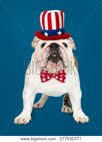 Cute white English Bulldog puppy in Uncle Sam hat and bow tie poster