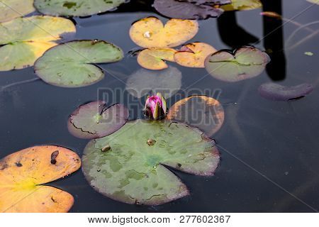 Single Pink Lotus Flower Or Pond Lily And Green And Yellow Pond Leaves. Autumn Botanical Composition