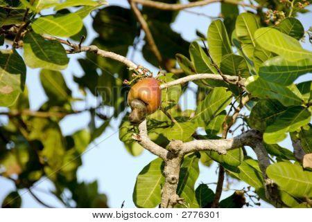 Growing Cashew In Tree