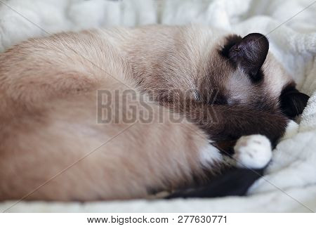 Young, Female, Chocolate Point Siamese Cat, Napping On A White Plush Blanket Indoors