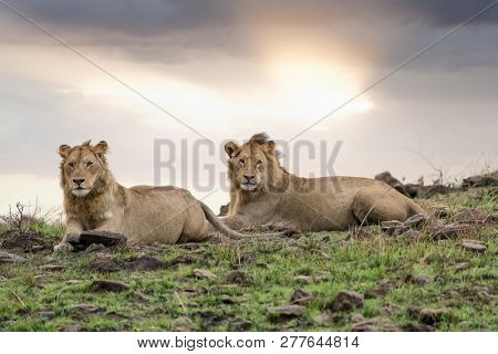 Two adolescent male lion brothers at dusk in the Masai Mara, Kenya. These young males have fractured from the  pride and will be nomadic until they start a new pride.