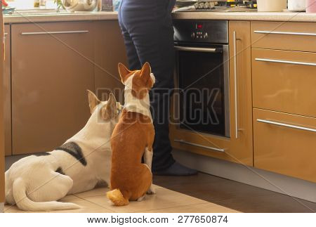 Basenji Dog With Its Mixed Breed White Friend Sitting Near Stove And Patiently Waiting Till Their Ma