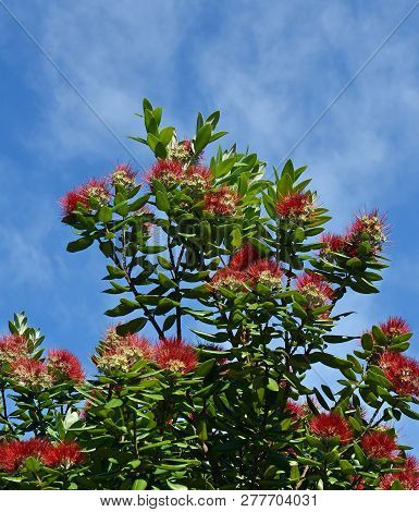New Zealand Pohutukawa Tree In Full Mid-summer Bloom. Also Known As The Nz Christmas Tree Because It