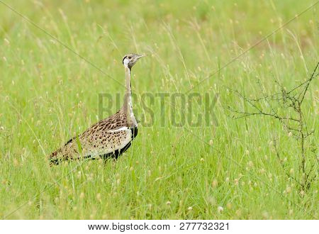 Black-bellied bustard (Lissotis melanogaster), also known as the Black-bellied korhaan, a ground dwelling bird in the bustard family poster