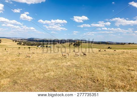 The Cowra Area Is Famous For Its Sheep And Crop Farming. Cowra - New South Wales Australia