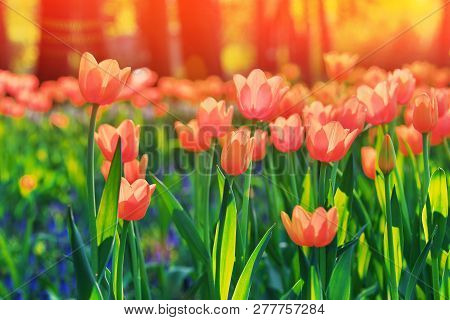 Group Of Colorful Tulip. Red, Pink, Orange, Coral Flower Tulip Lit By Sunlight. Soft Selective Focus