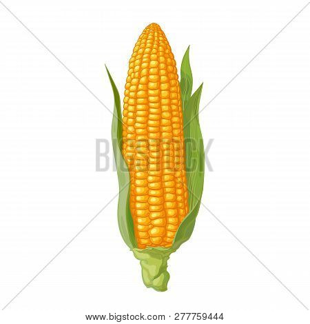 Ripe Corn Cob With Leaves. Ear Of Corn. Hand Drawn Vector Illustration.