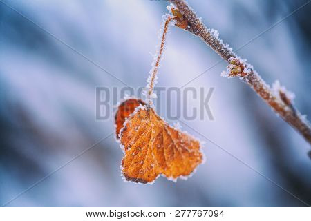 Yellow Leaf Covered With Winter Rime. Hoarfrost On Plants. Shallow Depth Of Field