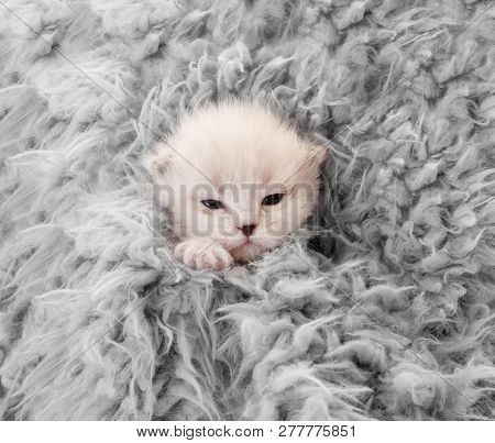 Little newborn white kitten covered in gray blanket