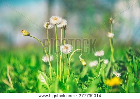 The Process Of Ending The Flowering Of The Coltsfoot Plant In Sunny Spring Day. Concept Of The Awake