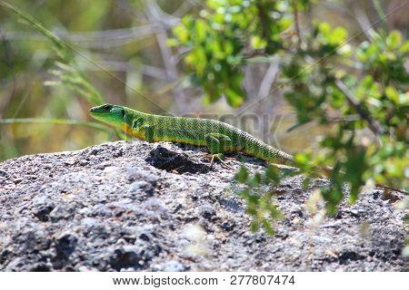 Corfu Island Nature -  Balkan Green Lizard (lacerta Trilineata). Greece Fauna.