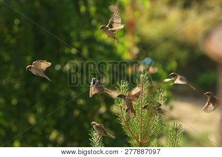 Nature, Animals, Fauna, Birds, Sparrows, Flyers, Summer, Flyers, Passer Domesticus, Passer, Passerid