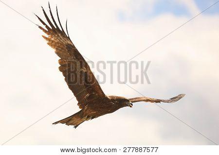 Nature, Fauna, Animals, Birds, Kite, Predator, Milvus Migrans, Hawk, In The Sky, Sky