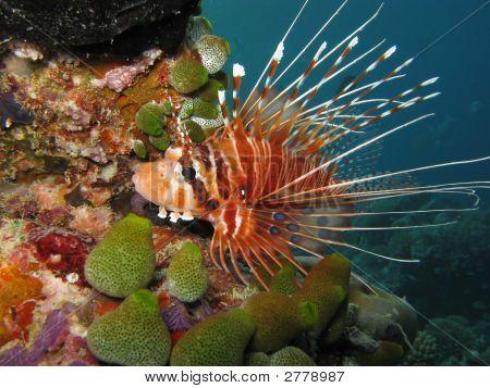 Antennata Lionfish