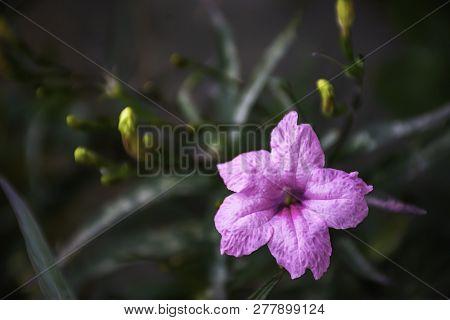 Pink Flower Or Ruellia Squarrosa (fenzi) Cufod  In Garden.