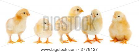 Adorable chicks - a over white background - poster